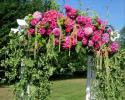 Garden rose, arches, bride arches,